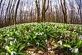 Першоцвіти в лісі Холодного Яру.jpg