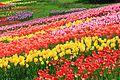 Поля тюльпанов.jpg