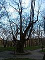 Старезне дерево.jpg