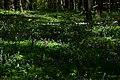 Теліженецький ліс Ряст DSC 0054.jpg