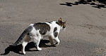 Шагающая кошка.jpg