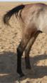 ساقا حصان 6.PNG