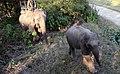 फुर्सदमा जङगलबाट बाहिर निस्कदै यी हातीहरु 04.jpg