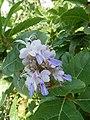 भारंगी (फुलं), धामणवन, अकोले, अहमदनगर Bharangi (flowers), Dhamanvan, Akole, Ahamadnagar(Clerodendron serratum).jpg