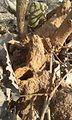 উইঢিবি। White Ant's shelter.jpg