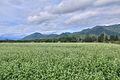 下郷町落合のそば畑 - panoramio (2).jpg