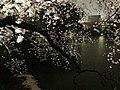 千鳥之淵, 千鳥淵, 櫻花, 夜櫻, 東京, 日本, 千鳥ヶ淵, ちどりがふち, 桜花, 夜桜ライトアップ, Sakura, Tokyo, Japan (13752919215).jpg