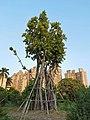 印度橡膠榕 Ficus elastica 20201007182924 01.jpg