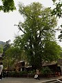 帝王树 - Ginkgo King - 2012.04 - panoramio.jpg