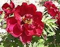 日本牡丹-群烏 Paeonia suffruticosa Muregarasu -日本大阪長居植物園 Osaka Nagai Botanical Garden, Japan- (28513834718).jpg