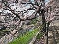 桜満開の袋川 - panoramio.jpg
