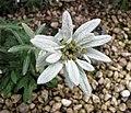 火絨草屬 Leontopodium coreanum -日本大阪鮮花競放館 Osaka Sakuya Konohana Kan, Japan- (27406343227).jpg