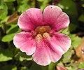 猴面花 Mimulus Mystic Rose -上海共青森林公園 Shanghai, China- (9204835747).jpg