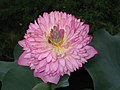 荷花-重台紅蓮型 Nelumbo nucifera Double-chamber-series -香港動植物公園 Hong Kong Botanical Garden- (9207629108).jpg
