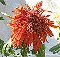 菊花-硃砂紅霜 Chrysanthemum morifolium 'Cinnabar Red Frost' -香港圓玄學院 Hong Kong Yuen Yuen Institute- (12026623013).jpg
