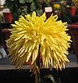 菊花-管球型 Chrysanthemum morifolium Ball-tubular-series -中山小欖菊花會 Xiaolan Chrysanthemum Show, China- (9213340161).jpg