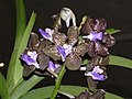 萬代蘭 Vanda Mimi Palmer -香港沙田洋蘭展 Shatin Orchid Show, Hong Kong- (9252396127).jpg