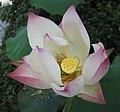 蓮花-仙女散花 Nelumbo nucifera 'Fairy Scattering Flowers' -香港公園 Hong Kong Park- (12338467473).jpg
