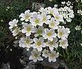 虎耳草屬 Saxifraga longifolia -比利時 Ghent University Botanical Garden, Belgium- (9227006661).jpg