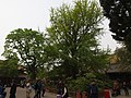 配王树 - Accompanying Gingko - 2012.04 - panoramio.jpg