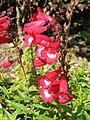 釣鐘柳 Penstemon 'Rubicundus' -英格蘭 Brockhole, England- (9204859745).jpg