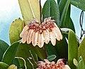 鍚金捲瓣蘭 Cirrhopetalum sikkimense -香港青松觀蘭花展 Tuen Mun, Hong Kong- (9219876761).jpg