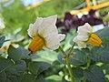 馬鈴薯 Solanum tuberosum -香港漁農美食嘉年華 Hong Kong Farmfest- (9237499833).jpg