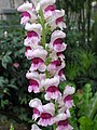 高花金魚草 Antirrhinum majus 'Tall Series' -香港禮賓府 Hong Kong Government House- (25999056092).jpg