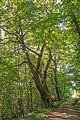 01 1066 Naturdenkmal Edelkastanie am Hohensteinweg.jpg