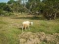 0306Sheep–goat hybrids 02.jpg