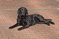 0312 Black Labrador IMG 5357.jpg