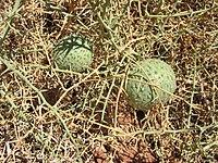 0892 Narafrucht Sossusvlei.JPG