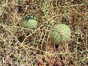Acanthosicyos - Acanthosicyos horridus fruit