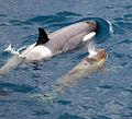 091201 south georgia orca 5227 (4173390858).jpg