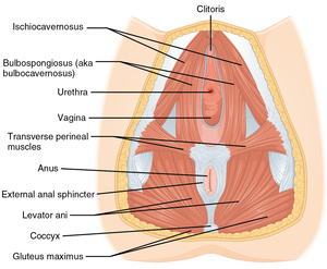 Perineum - The muscles of the female perineum