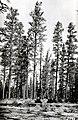 1924. Ponderosa pine defoliated by pandora moth. Klamath Indian Reservation. Oregon. (38189738812).jpg