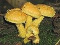 2007-10-07 Pholiota flammans (Batsch) P. Kumm 159885.jpg