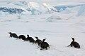 2007 Snow-Hill-Island Luyten-De-Hauwere-Emperor-Penguin-45.jpg