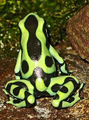 Description de l'image 2009-04-05Dendrobates auratus155.jpg.