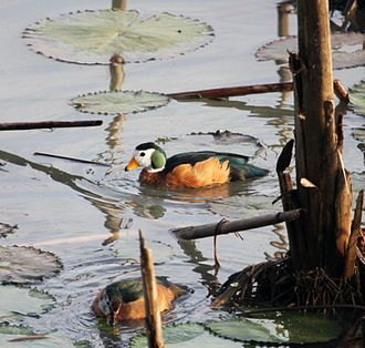 African pygmy goose - A pair in Ethiopia (female in foreground)