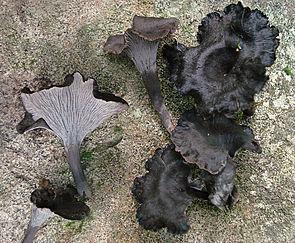 2010-08-24 Craterellus cinereus (Pers.) Quél 100703 cropped.jpg