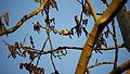 2012.03.20.-6-Vogelstangsee Mannheim-Stieglitz.jpg