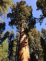 2013-09-20 11 06 43 General Sherman Tree.JPG