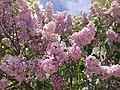 2014-05-18 11 28 45 Lilac in Elko, Nevada.JPG