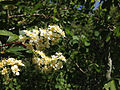 2014-06-23 14 35 54 Chokecherry blossoms along the Changing Canyon Nature Trail in Lamoille Canyon, Nevada.JPG