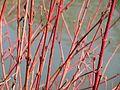 20140311Cornus sanguinea1.jpg