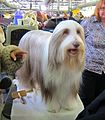 2014 Westminster Kennel Club Dog Show (12451522713).jpg
