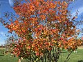 2015-11-08 09 37 41 Crape Myrtle foliage during autumn along Old Ox Road (Virginia Secondary State Route 606) in Sterling, Virginia.jpg