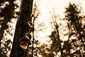 2016-10 mushrooms on tree trunk Saguenay.jpg