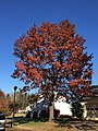 2016-11-18 11 48 07 Red Oak displaying autumn foliage along Dairy Lou Drive between Allness Lane and Dairy Lou Court in the Franklin Farm section of Oak Hill, Fairfax County, Virginia.jpg